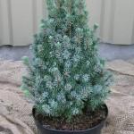 Ель канадская Сандерс Блю (Picea glauca Sanders Blue)
