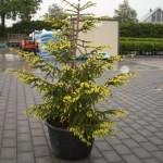 Ель восточная Ауреоспиката (Picea orientalis Aureospicata)
