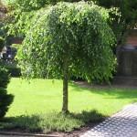 Береза повислая Юнги на штамбе (Betula pendula Youngii)