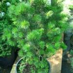 Pinus leucodermis Satellit