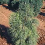 Pinuswallichiana