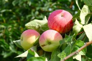 Яблоня сорта Мелба