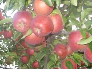 плоды Вайнспур3