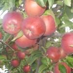 плоды Вайнспур3миниатюра