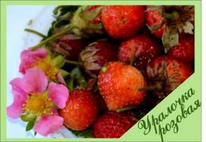 Уралочка розовая - земляника для сайта