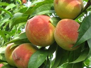 плоды персика для сайта