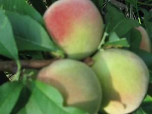 плоды персика от Альтергот