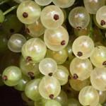 Смородина белая Смольяниновская для сайта миниатюра