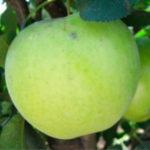 greensveez-miniatyura